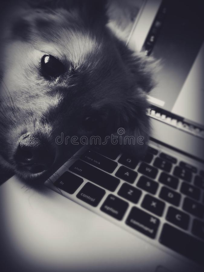 Puppy sleeping on computer stock photography