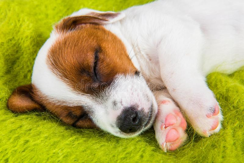 Puppy sleeping on the couch, the dog fell ill. Puppy sweetly sleeping on the couch, the dog fell ill. Funny puppy Jack Russell Terrier dog is lying like an royalty free stock photo
