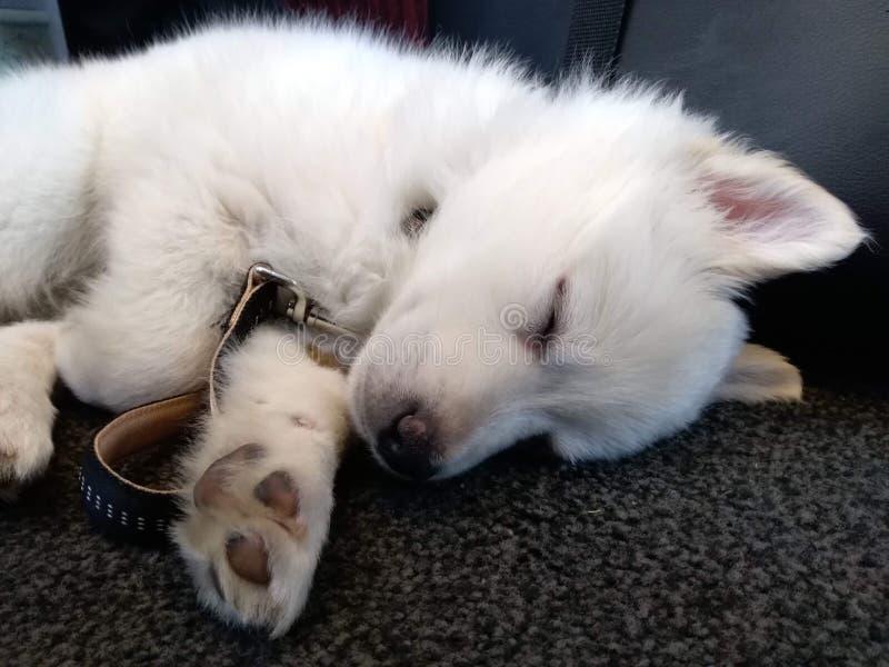 Puppy Sleeping cute and fluffy. Danish peak dog. Fell a sleep on the way home royalty free stock photos