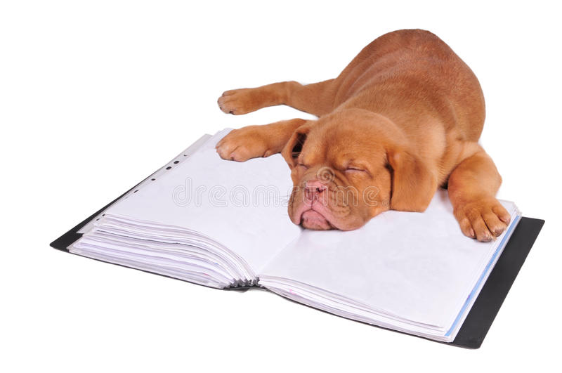 Puppy sleeping on a document folder royalty free stock images