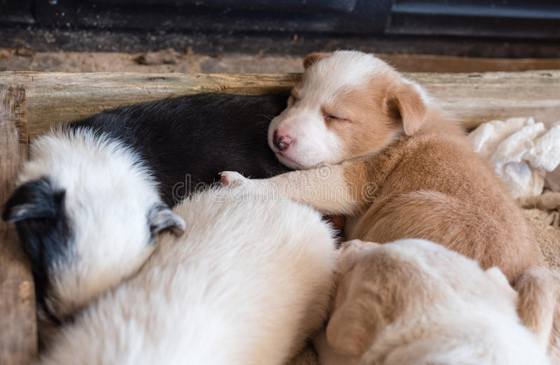 Puppy sleeping with siblings. Brown and white puppy sleeping with siblings in wooden box (selective focus royalty free stock photo