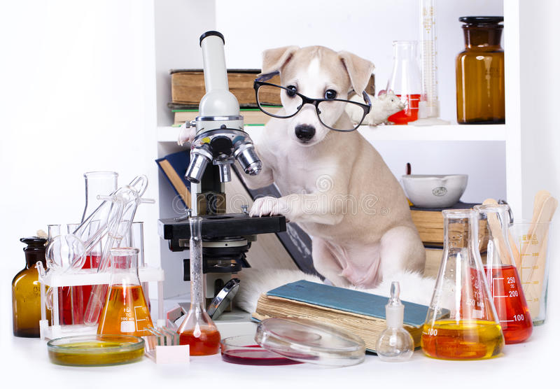 Puppy small laboratory. Whippet puppy small laboratory chemist stock photography
