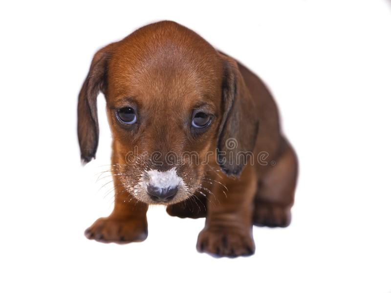 Puppy smooth dachshund with muzzle and moustache painted in milk, long ears and dark eyes. Isolate. The puppy is a smooth brown-colored dachshund with long ears royalty free stock photos