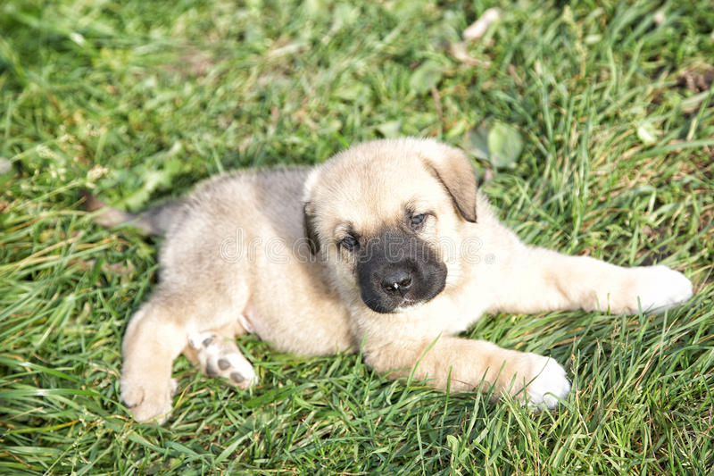Download Puppy Of The Spanish Mastiff In The Afternoon On The Nature Stock Image - Image: 33192761