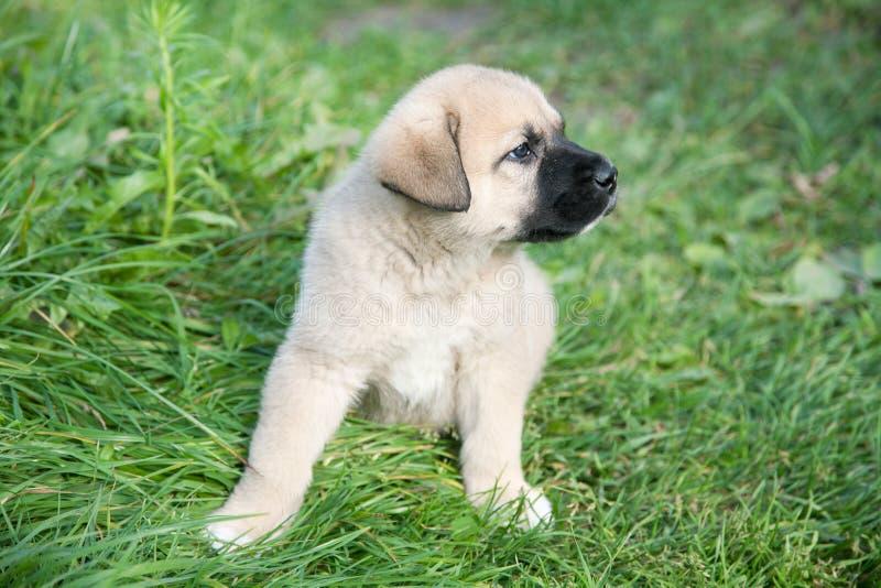 Puppy of the Spanish mastiff on a grass. Puppy of the Spanish mastiff on a green grass stock photo