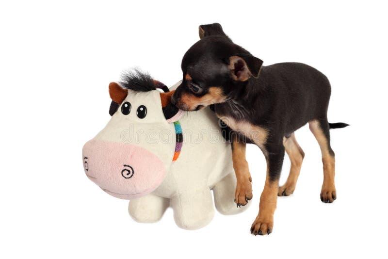 Puppy speelgoed-Terrier met stuk speelgoed op witte achtergrond wordt geïsoleerd die stock afbeeldingen
