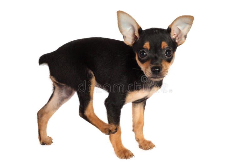 Puppy speelgoed-Terrier op witte achtergrond wordt geïsoleerd die royalty-vrije stock afbeeldingen