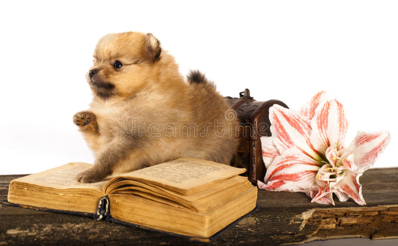 Download Puppy spitz and  book stock image. Image of fuzzy, animals - 23622169
