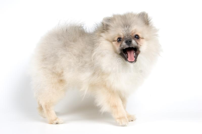 The puppy of the spitz-dog royalty free stock photo