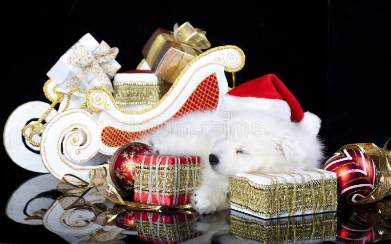 Puppy spitz wearing a santa hat royalty free stock image
