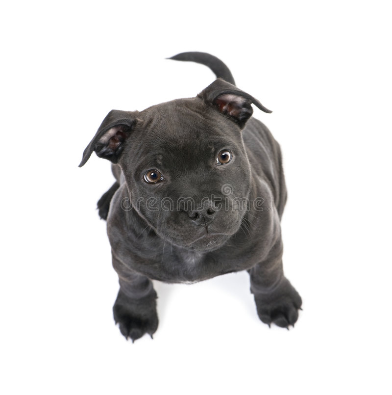 Puppy Staffordshire Bull Terrier 2 Months Stock Photo