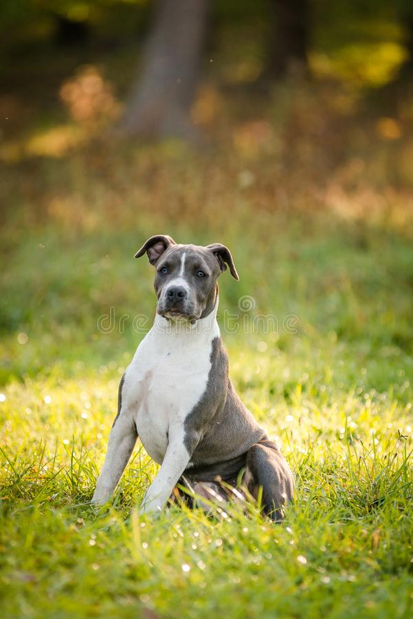 Puppy staffordshire terrier walks in the park in autumn stock image