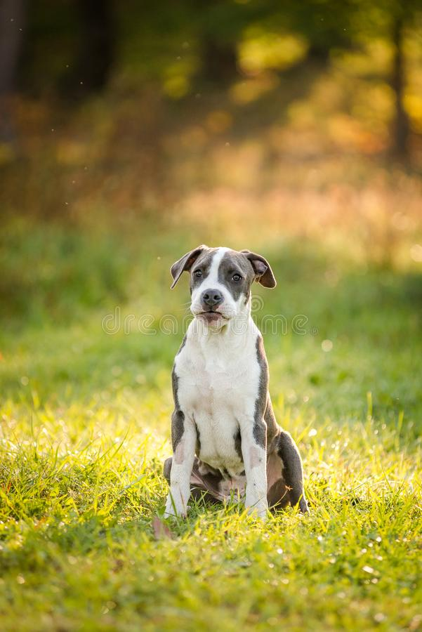 Puppy staffordshire terrier walks in the park in autumn royalty free stock photo