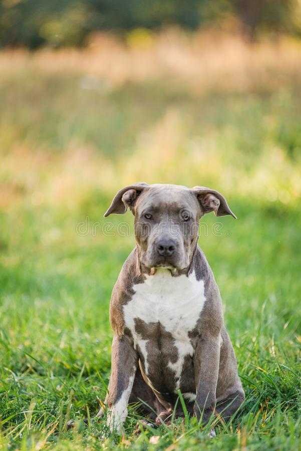Puppy staffordshire terrier walks in the park in autumn royalty free stock images