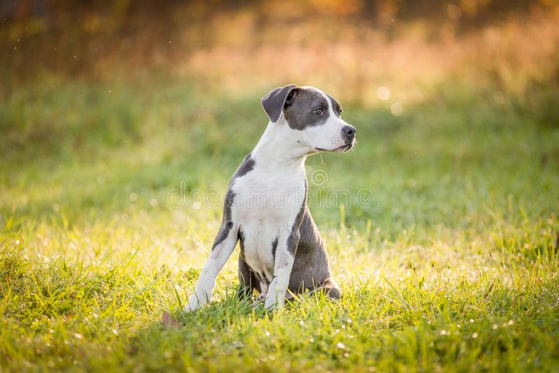 Puppy staffordshire terrier walks in the park in autumn stock photography