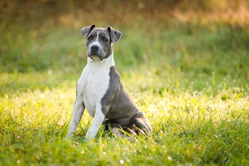 Puppy staffordshire terrier walks in the park in autumn stock photos