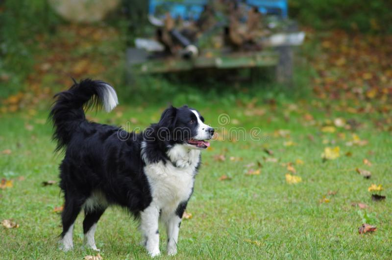Puppy standing in a leafy yard. A beautiful Border Collie dog, standing in a grassy yard, looking off into the distance royalty free stock photography