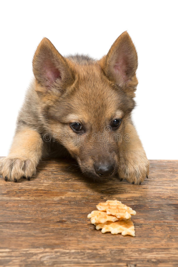 Puppy stealing cookies stock photos