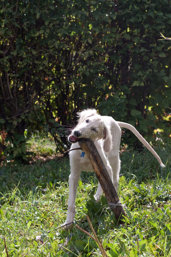 Download Puppy and stick stock image. Image of carnivore, black - 17103573