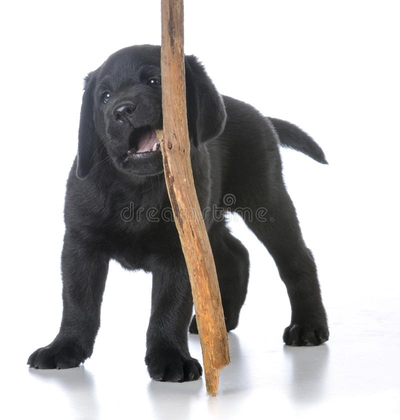 Puppy with a stick stock images