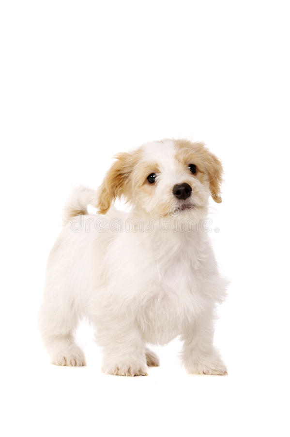 Download Puppy Stood Isolated On A White Background Stock Image - Image: 28900181