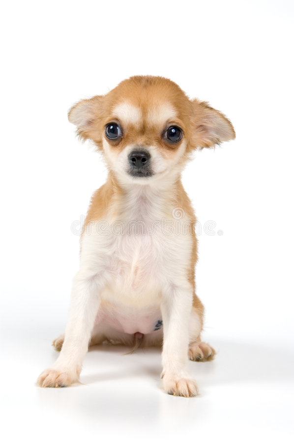 The puppy in studio. On a neutral background stock image