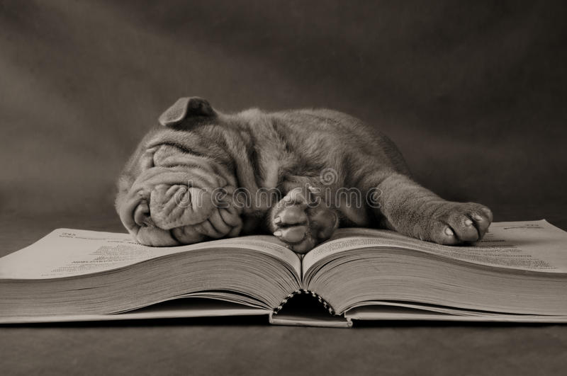 Puppy Studying in the Morning royalty free stock image