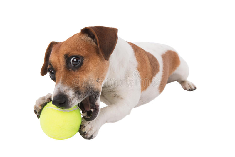 Puppy with tennis ball. Jack Russell terrier puppy gnawing tennis ball isolated on white background royalty free stock images