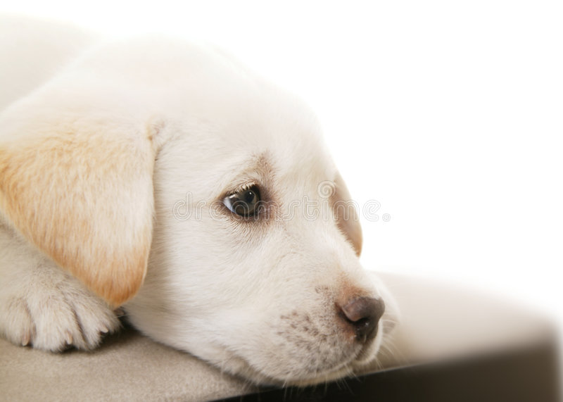 Puppy Thinking 2. Cute white/cream puppy thinking. this is mixed of labrador and german shepherd stock photography