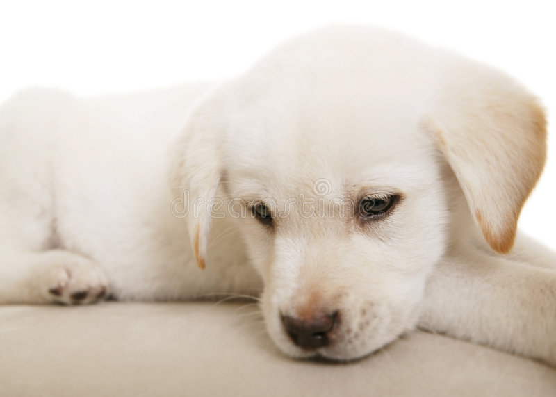 Puppy Thinking. Cute white/cream puppy thinking. this is mixed of labrador and german shepherd royalty free stock photos