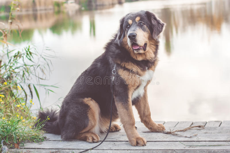Puppy of tibetan mastiff near autumn lake stock photo