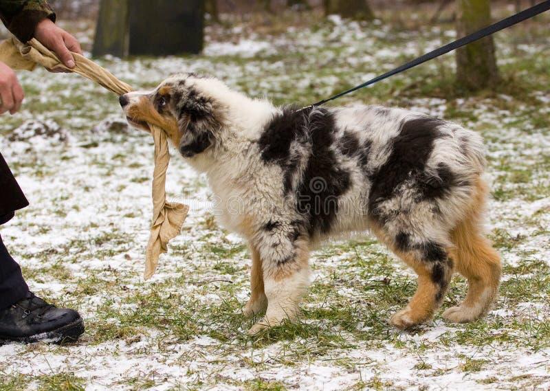 Puppy Training Stock Photo