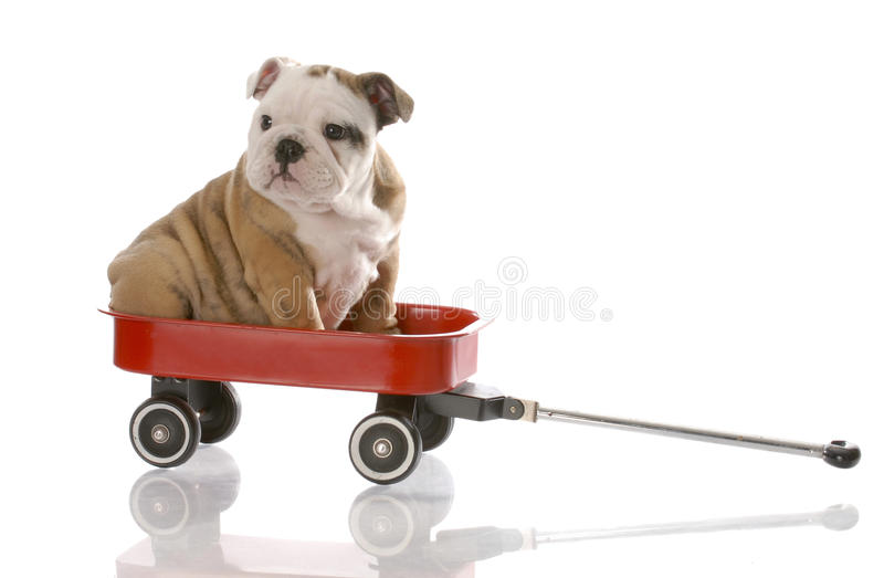 Puppy travelling in a red wagon royalty free stock photo