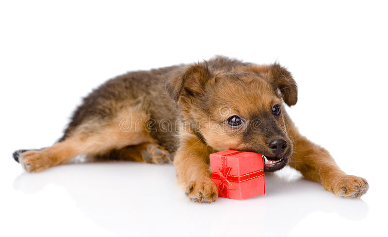 Puppy tries to open a gift. isolated on white background.  stock photo
