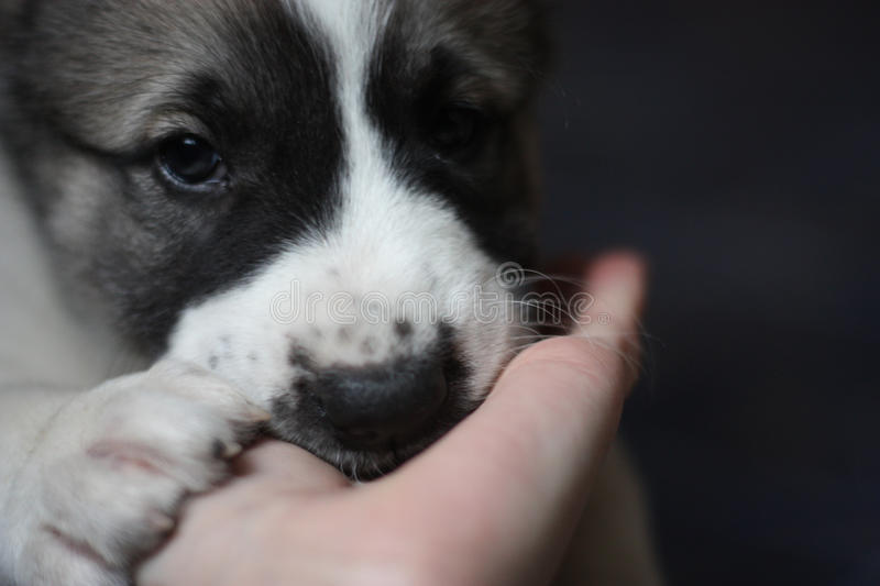 Puppy trust its life to a human. Puppy of central asian shepherd dog trusts its life to a human without a doubt royalty free stock photos