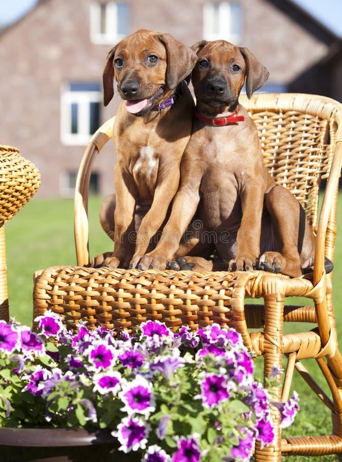 Puppy tvo rhodesian royalty free stock photos