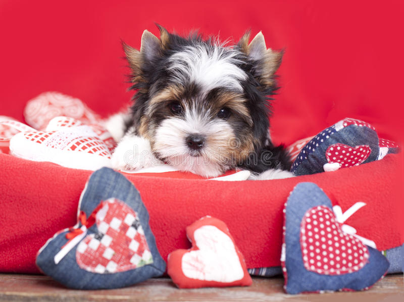 Puppy and valentine heart stock photo