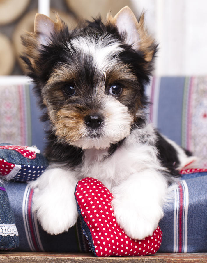 Puppy and valentine heart stock photography