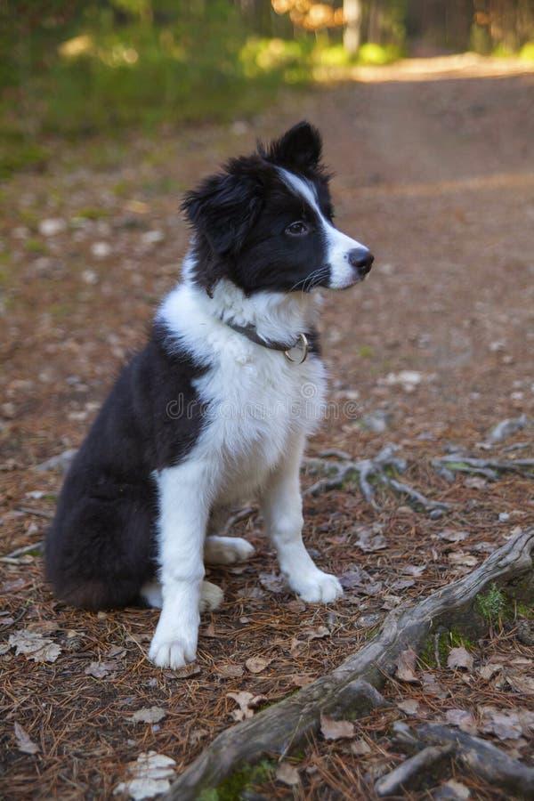 Puppy van border collie royalty-vrije stock foto's