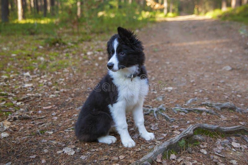 Puppy van border collie stock afbeelding