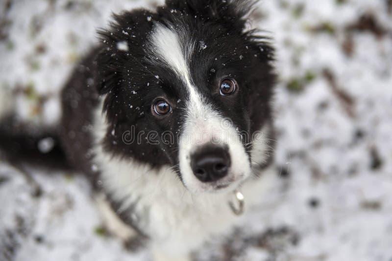 Puppy van border collie royalty-vrije stock afbeeldingen