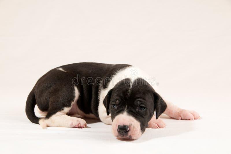 Puppy van de Deen van de mantel het Grote royalty-vrije stock fotografie