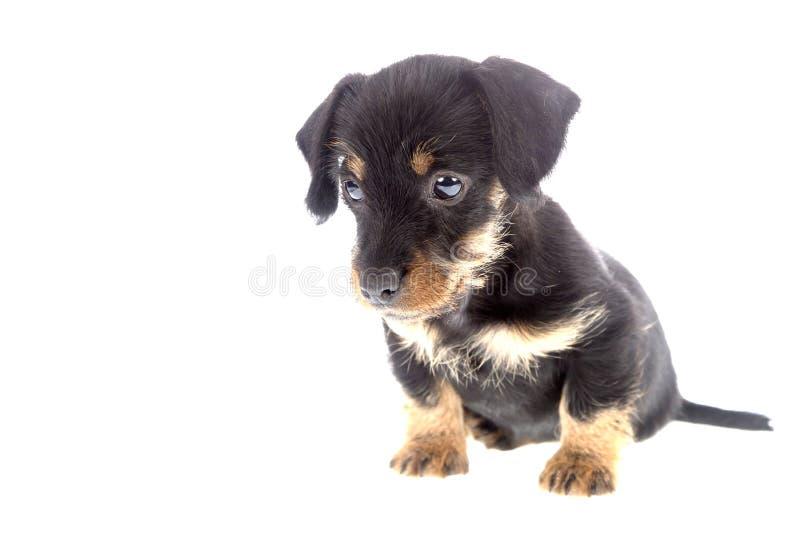 Puppy van de draad haired tekkel stock afbeeldingen