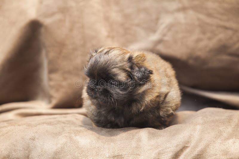 Puppy van de pekinees het leuke hond stock foto's