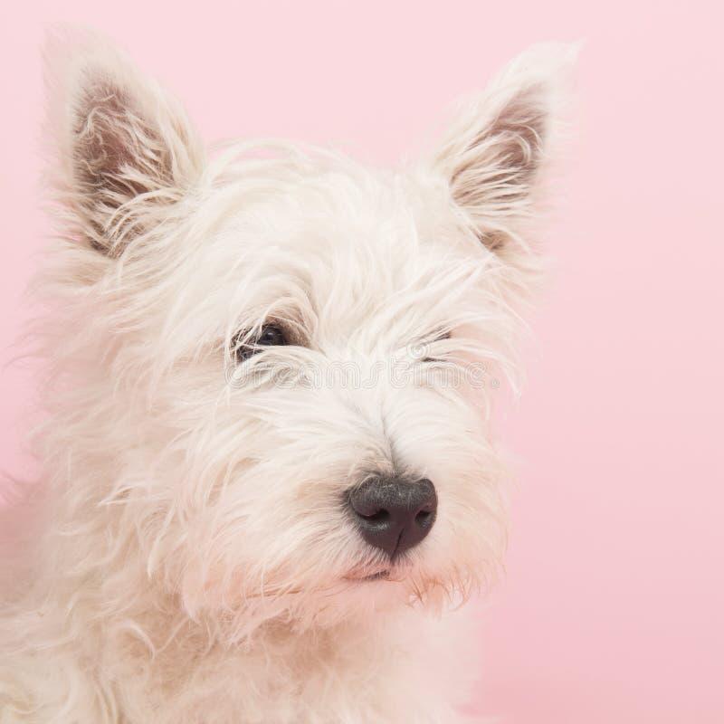 Puppy van de Terriër van het Hoogland van het westen het Witte stock foto