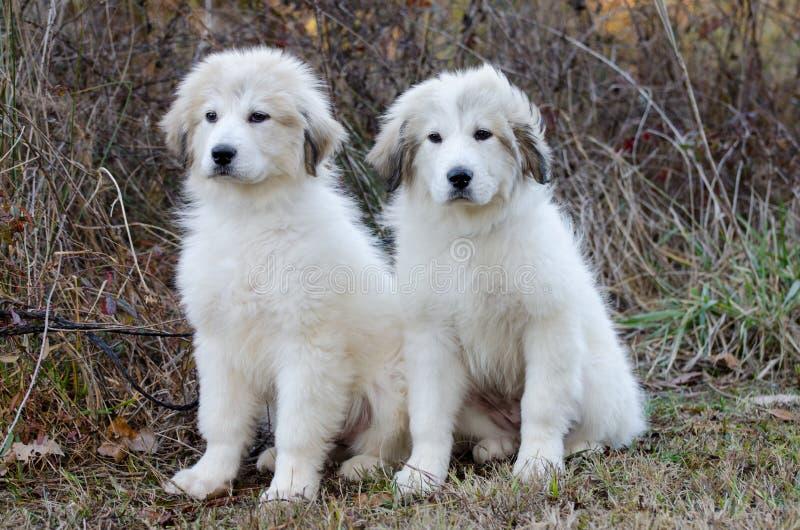 Puppy van de twee het Grote Pyreneeën royalty-vrije stock afbeeldingen