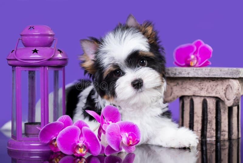 Puppy van een bever van een terriër en de bloemen van Yorkshire royalty-vrije stock afbeelding