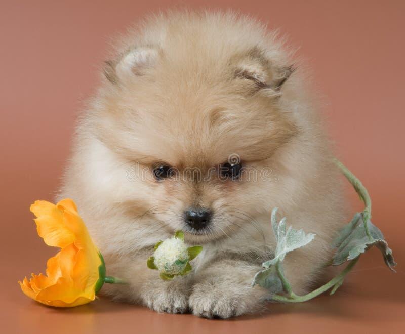 Puppy van een spitz-hond stock fotografie