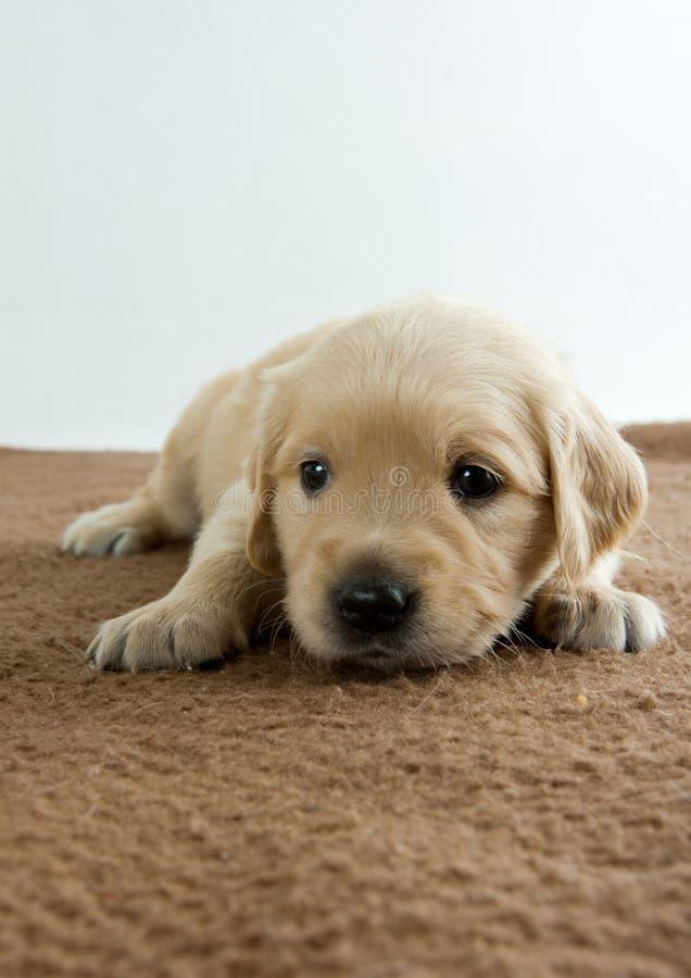 Puppy van gouden retriever royalty-vrije stock afbeelding