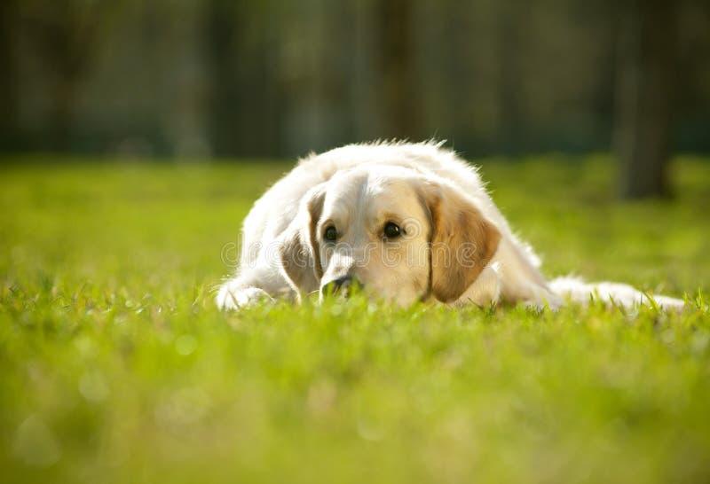 Puppy van gouden retriever stock foto's